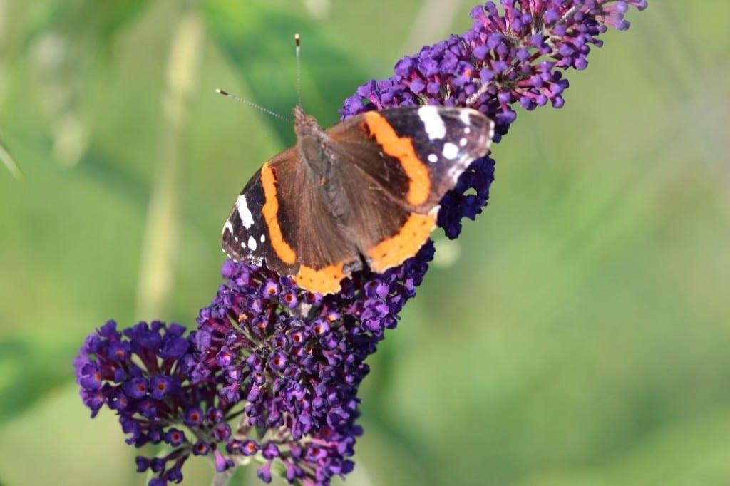 Naturnahe Gärten Hochwimmer Aktuelles Schmetterlinge